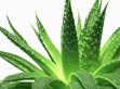 Aloe vera masszazs olaj
